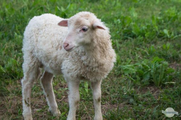 weißes Lamm