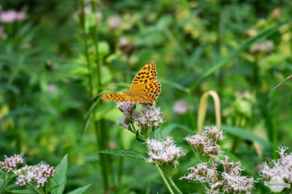 oranger Schmetterling auf Blüte