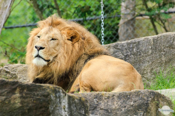 Löwenmännchen thront