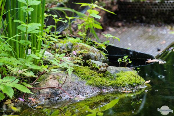 grüner Frosch beim Teich