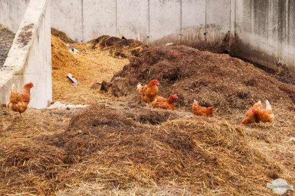 Hühner am Mist - Tierfotos vom Bauernhof