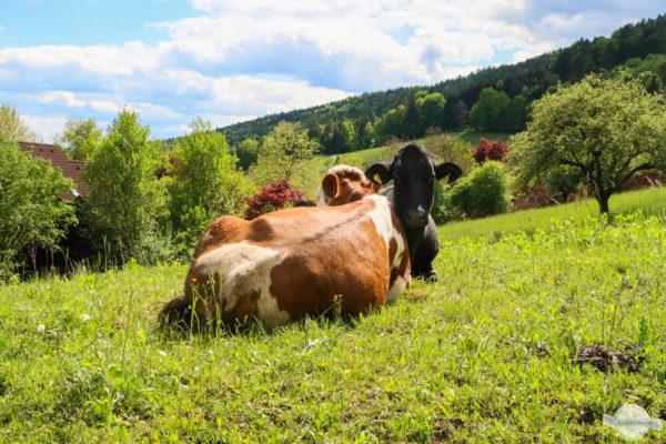Kühe als beste Freunde