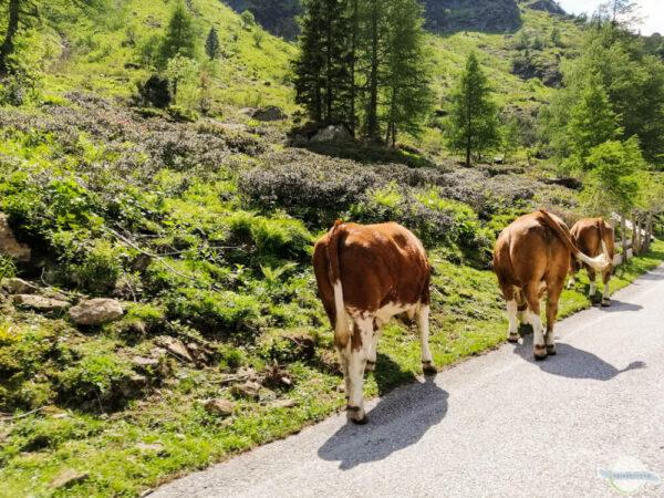 Kühe am Sölkpass