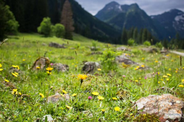 Blumenwiese vor Berggipfel