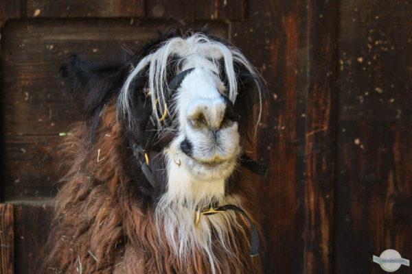 Lama mit witziger Frisur