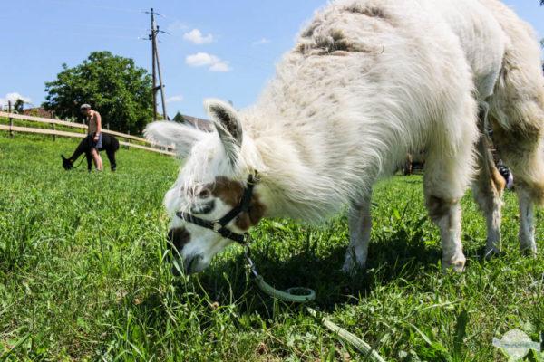 Lama beim Fressen auf der Wiese