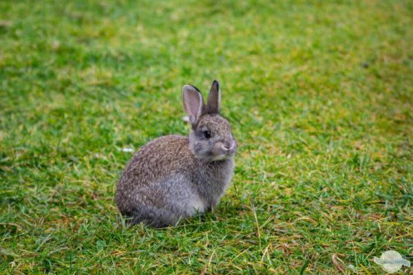 junges Kaninchen im Gras