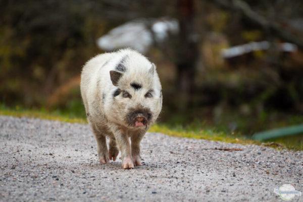 Hängebauchschwein spaziert