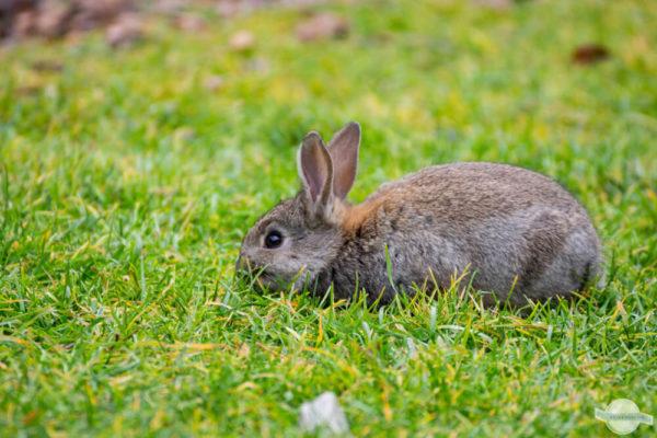 Kaninchen beim Grasen