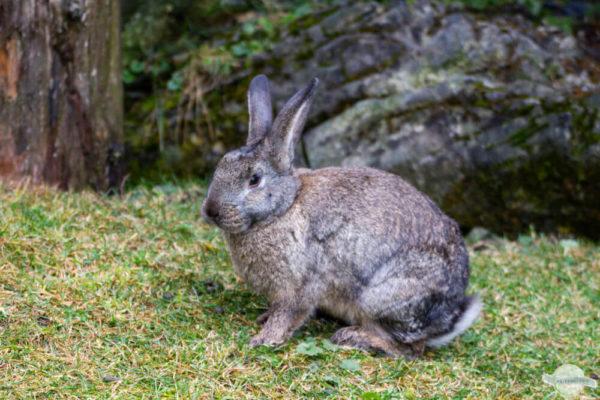 Kaninchen am Waldboden