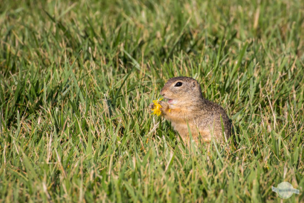 Ziesel isst gelbe Blume