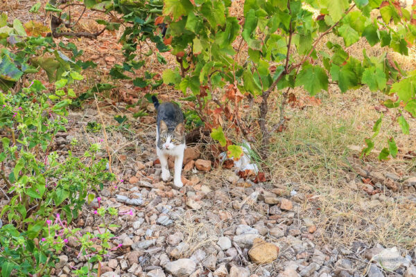 Kleine Katze in den Weinbergen